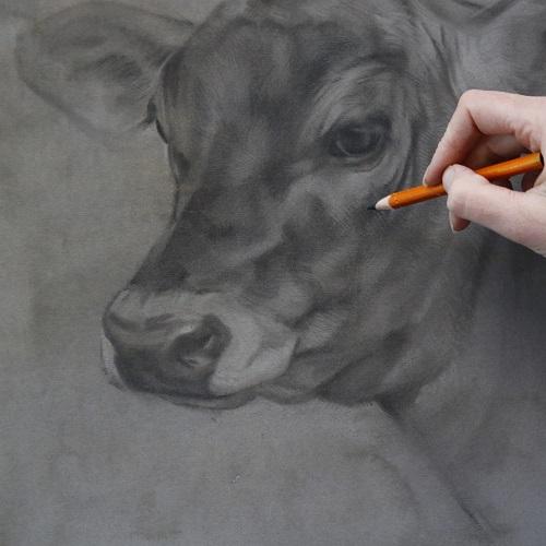 koeien portretten - tekening in uitvoering - jersey kalfje anna - jennifer koning