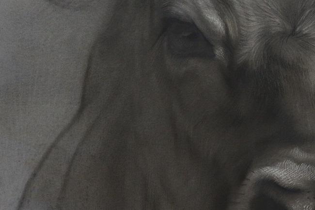 twilight jersey 4 detail - portret koe in houtskool