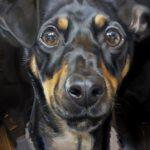 ollie portret van jack russel in olieverf in uitv 4